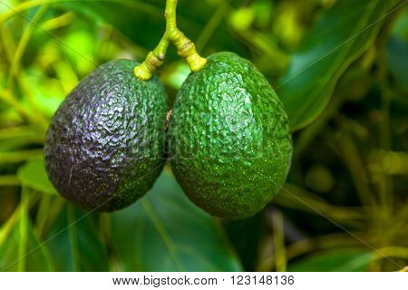 Ripe Of Avocados