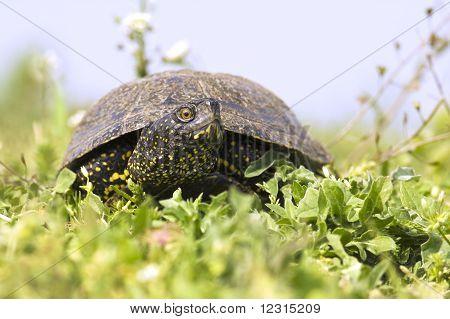 The European marsh turtle, Emys orbicularis
