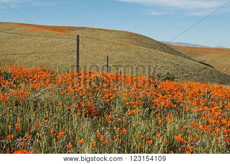 California Golden Poppies with steel staked barbed wire fence during springtime in the high desert of southern California near Lancaster CA