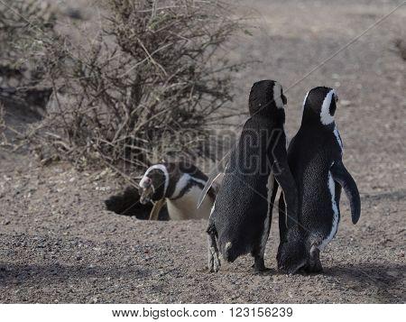 Magellanic penguin (Spheniscus magellanicus) as seen in the wild in Patagonian Argentina at Punta Tombo.
