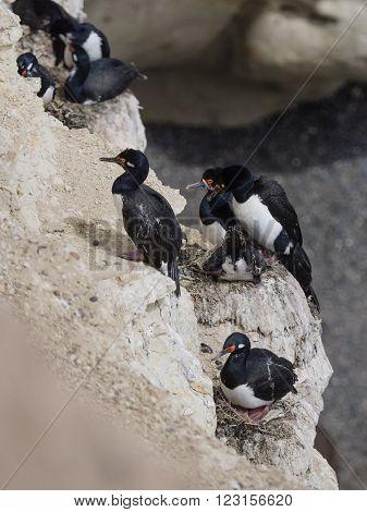Rock Shag (Phalacrocorax magellanicus) or Magellanic Cormorant colony
