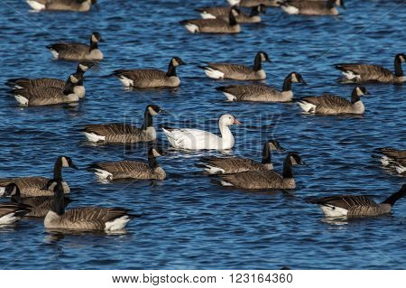 Snow Goose - Chen caerulescens swiming alone in a crowd of Canada Geese. Standing out as a unique individual.