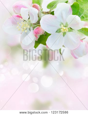 fresh Apple tree blossom twig with leaves on pink bokeh background