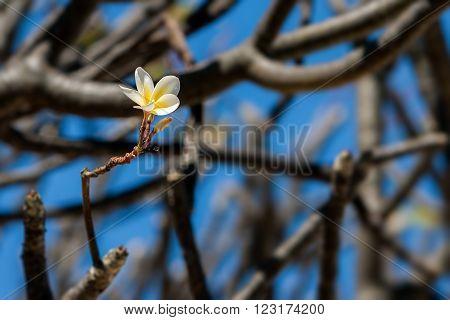 Single flower of Plumeria (Frangipani) on tree
