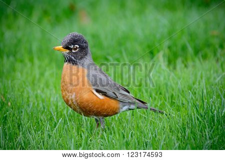 American Robin Red Breast Standing In Field of Grass, Profile facing left