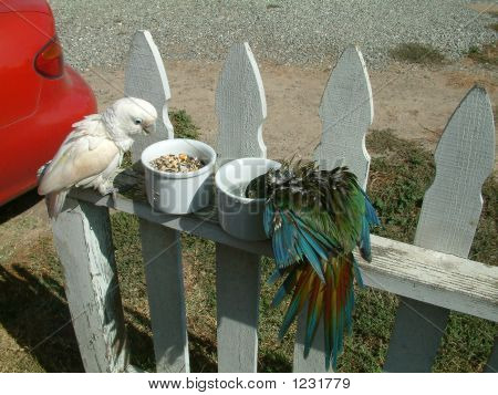 a goffin cockatoo & an illigers miniature macaw on a fence eating. poster