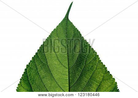 Beautiful green leaf isolated on white background
