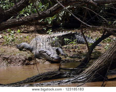 A large alligator on the banks of the Grijalva river at the Sumidero Canyon of Chiapas Mexico.