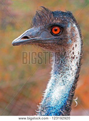 Emu Eye - orange hazel - in Adelaide Australia