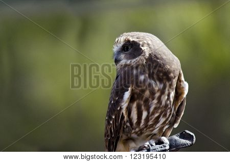 this is a close up of a boobook owl ** Note: Visible grain at 100%, best at smaller sizes