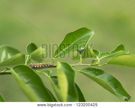 Papilio anactus caterpilla lava of Dainty Swallowtail butterfly on orange citrus leaves