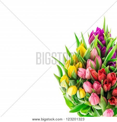 Tulip flowers. Bouquet of resh spring blooms isolated on white background