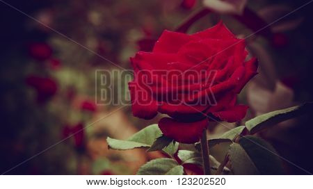 Field with hundreds of red roses, one captivated meField with hundreds of red roses, one captivated me