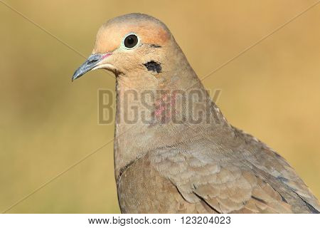Mourning Dove (Zenaida macroura) close-up with a tan background