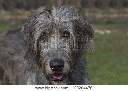 Portrait of a curious, funny and attentive dog - a young Irish wolfhound on a blurred green background. A large dog with long gray hair, long ears, black nose and brown eyes