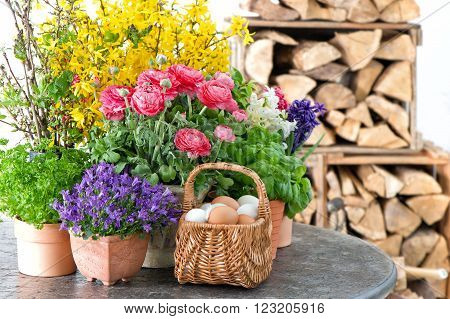 Spring flowers and Easter eggs decoration. Ranunculus campanula forsythia