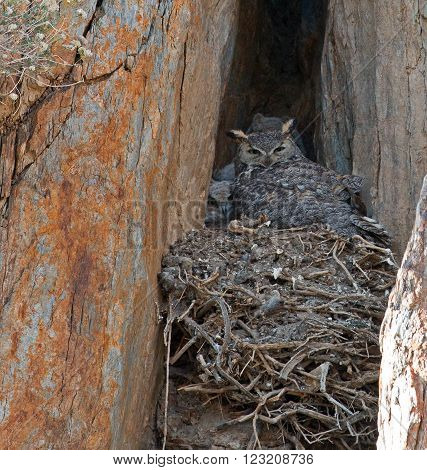 Californian Great Horned Owls with baby chicks in a rock cliff face nest in Lake Isabella California USA in the southern Sierra Nevada Mountains in Central California