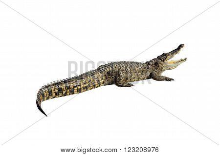 Freshwater crocodile, Siamese crocodile (Crocodylus siamensis) isolated on white background with clipping path.