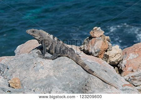 Lesser Antillean Iguana on Isla Mujeres Punta Sur Acantilado del Amanecer - Cliff of the Dawn