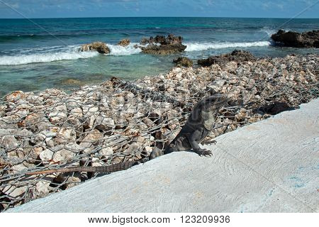 Lesser Antillean Iguana on seawall on small Mexican island called Isla Mujeres across the bay from Cancun Mexico