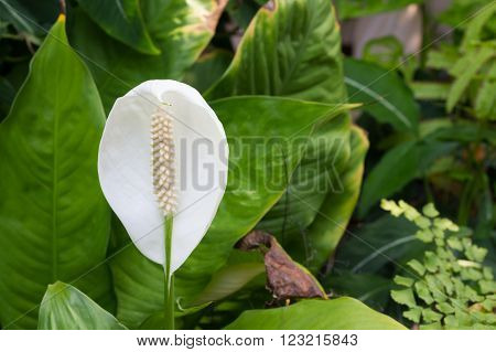 white beautiful spadix flower know as tailflower