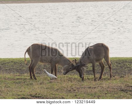 two gazelles on the African savannah, Malawi