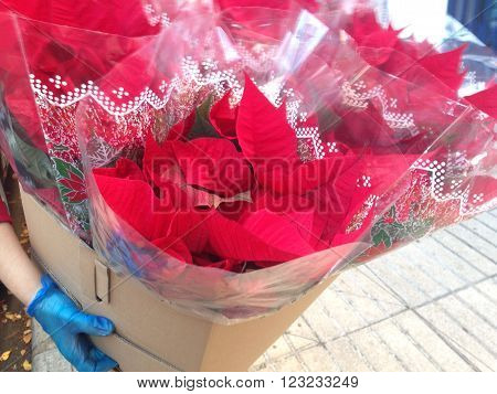 Seller carriying a cardbox full of Christmas star flower in market ready for sell