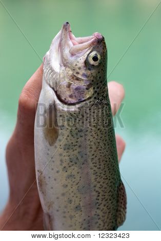 The caught rainbow trout
