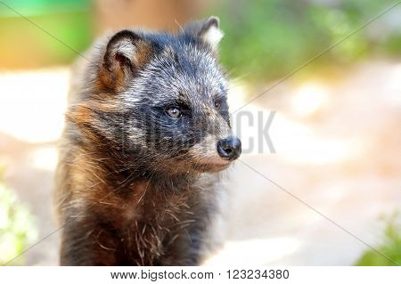 Racoon Dog (Nyctereutes procyonoides) portrait. Sunny day