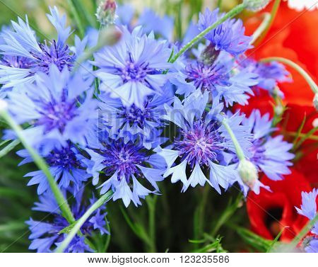 Floral background is with cornflowers (Centaurea cyanus) ** Note: Shallow depth of field