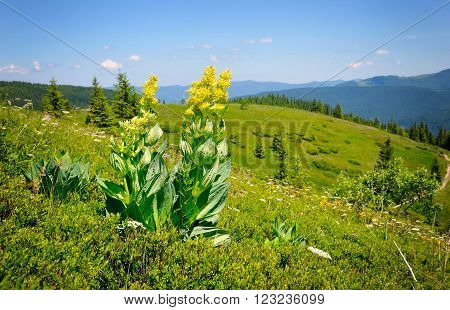 Gentian (gentiana Lutea) On A Background Of Mountains And Blue Sky
