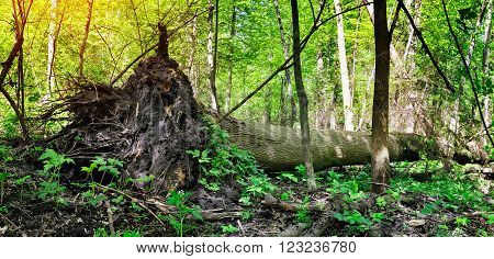 Fallen tree after hurricane. Sunny day in forest