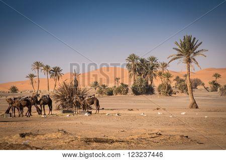 Oasis In Hassilabied, Erg Chebbi, Moroco