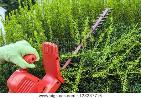 Pruning Green Hedge of Yews with Electric Trimmer