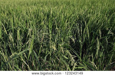 Indian Rice plant in the Rice field