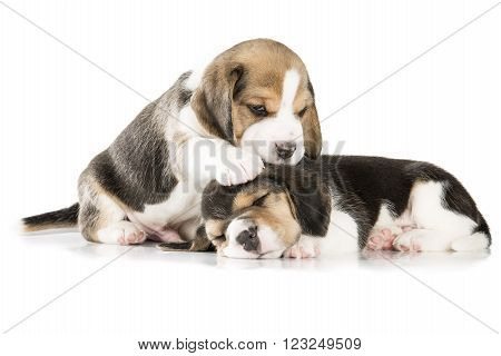 two beagle puppy isolated on white background