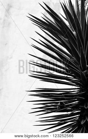 Spikey plant in Baku Botanic Gardens, in black and white. A plant with sharp, pointed leaves shown in silhouette against a white wall