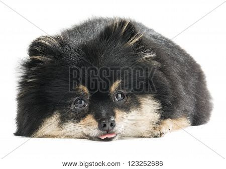 German Spitz on a white background in studio