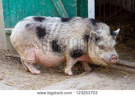 Ferm Big pink Vietnamese pot bellied pig.