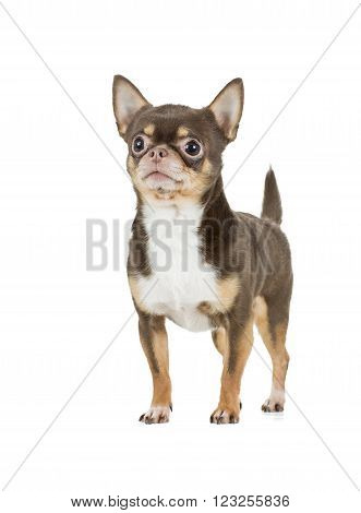 chocolate chihuahua dog on a white background in studio