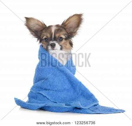 Papillon puppy in a towel on a white studio background