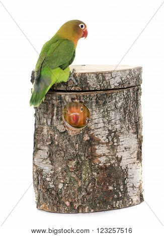 bird nest box and lovebird in front of white background