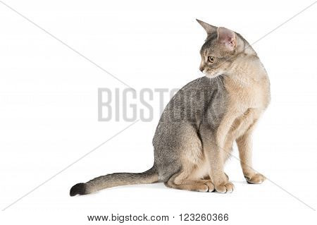 Abyssinian cat on a white background in studio
