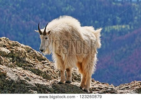 Mountain Goat atop Harney Peak in Custer State Park in the Black Hills of South Dakota USA