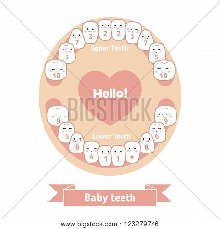 Temporary teeth - names groups period of eruption and shedding of the children. Baby teething infographic. Jaw with teeth on a white background.