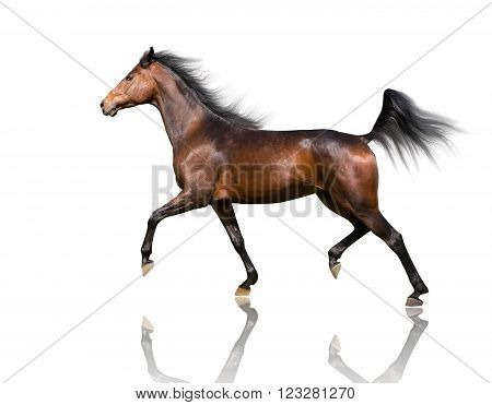 isolate of the brown horse trotting on the white background