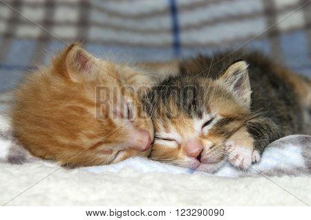 Male Orange Tabby Kitten Sleeping Next To Sister Tortie Torbie Kitten