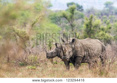 Specie Ceratotherium simum simum family of Rhinocerotidae, southern white rhinoceros in the bush in Kruger park