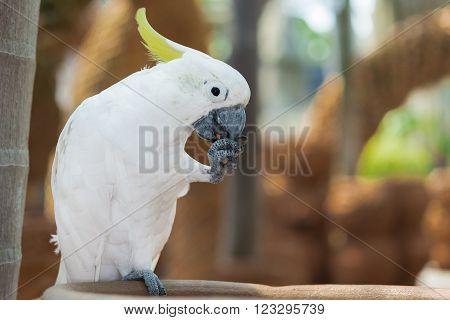 Beautiful white Cockatoo Sulphur-crested Cockatoo Lift one leg