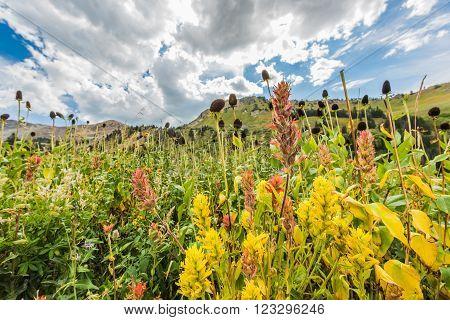 Closeup of wildflowers in alpine meadows at Albion Basin near Salt Lake City, Utah
